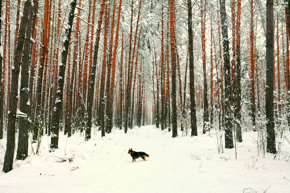 A dog on a footpath in winter pine forest
