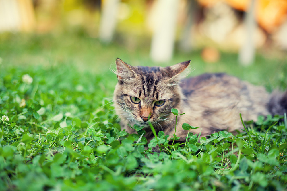 Cat lying in clover