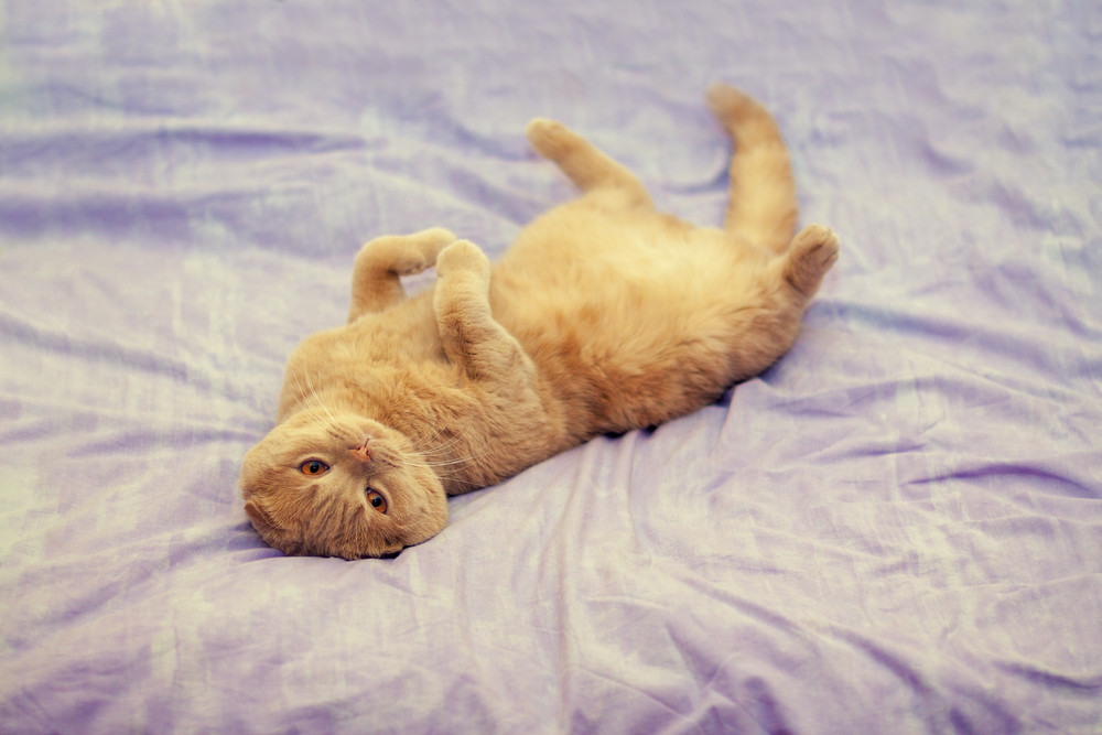 Scottish fold cat lying on her back on a blanket