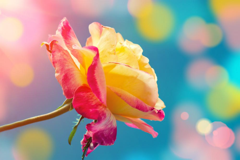Vintage colorful rose at sunrise