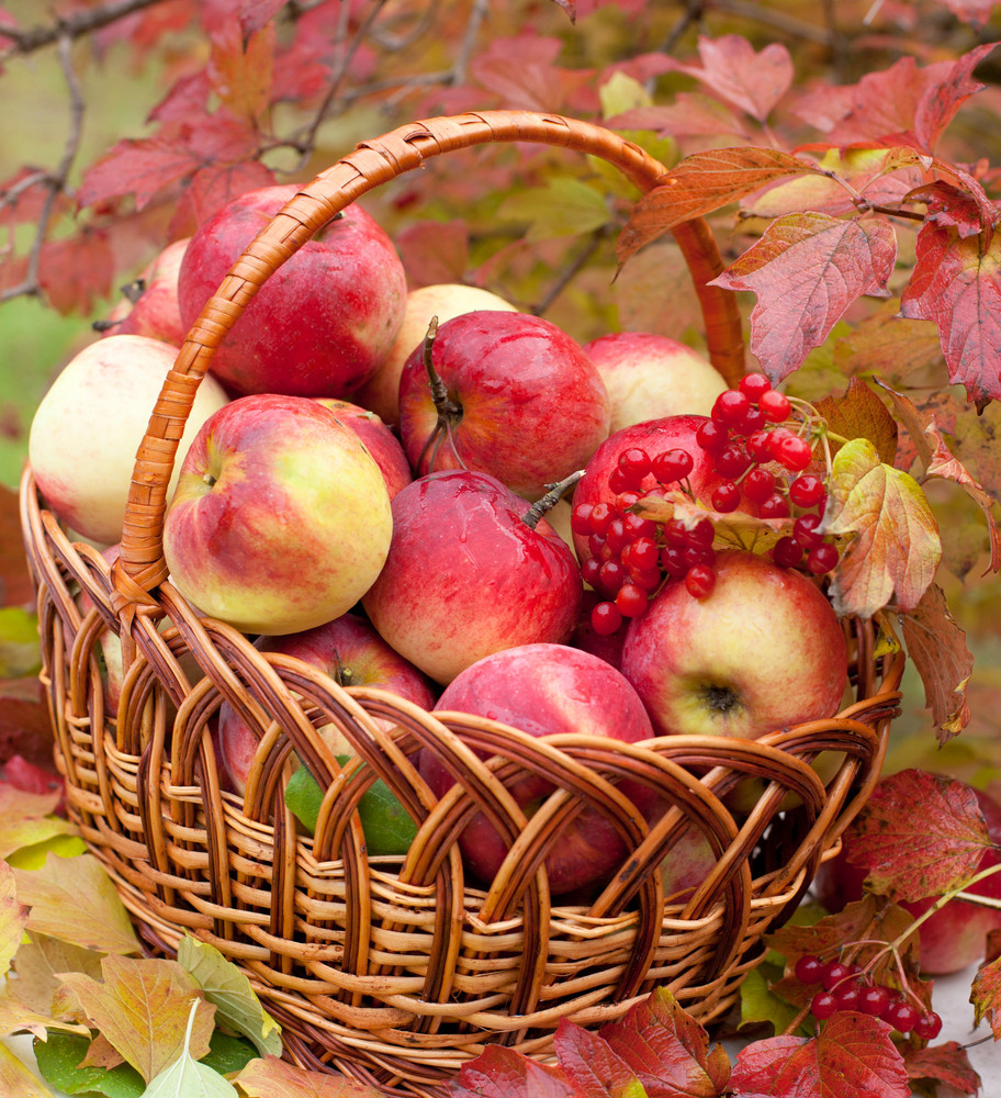 Organic apples in a basket on green grass