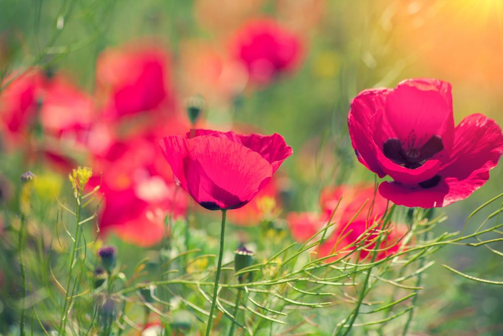 Vintage poppies field