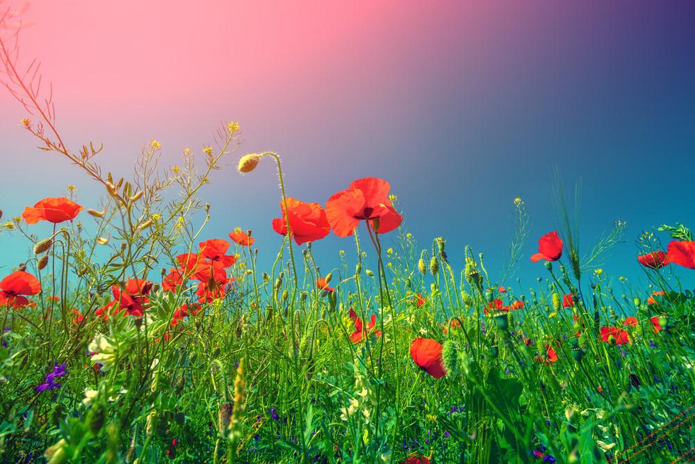 Poppy flowers against the sky