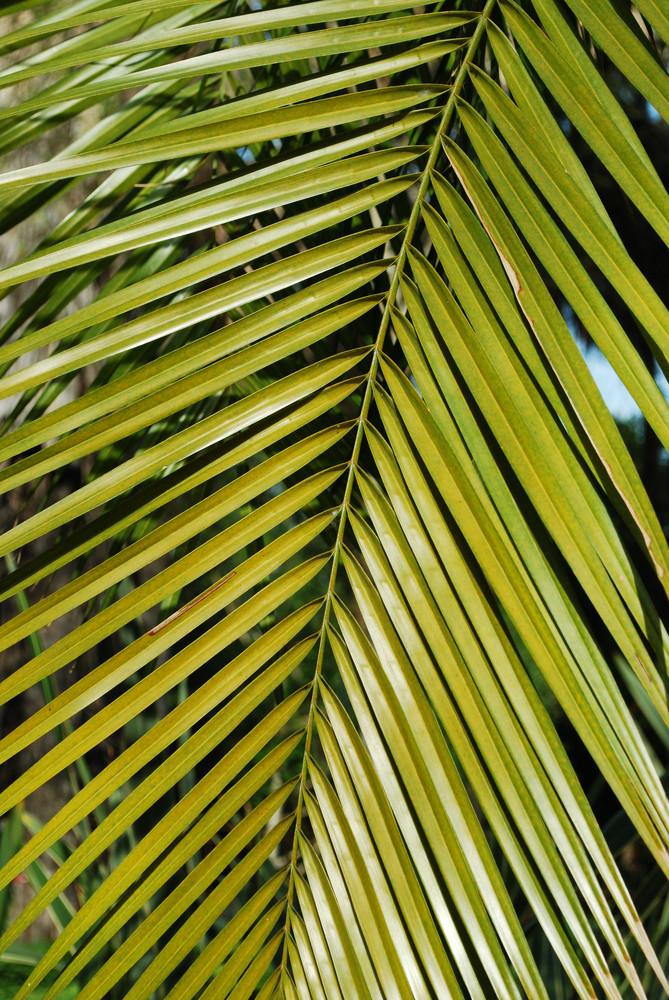 Washington Palm Tree