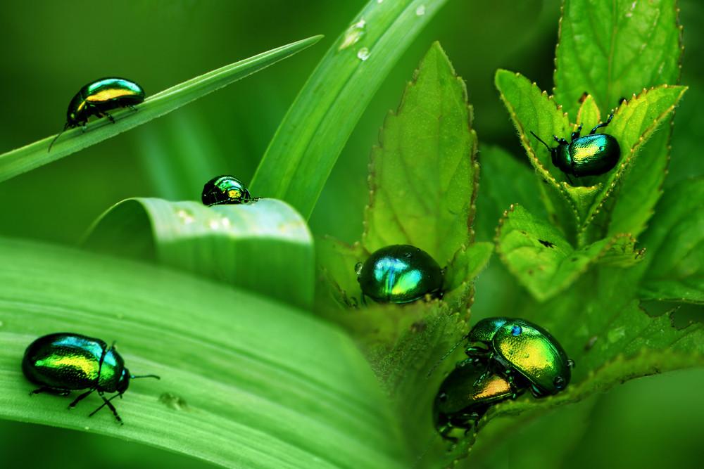 Water Scavenger Beetles (hydrophilidae)