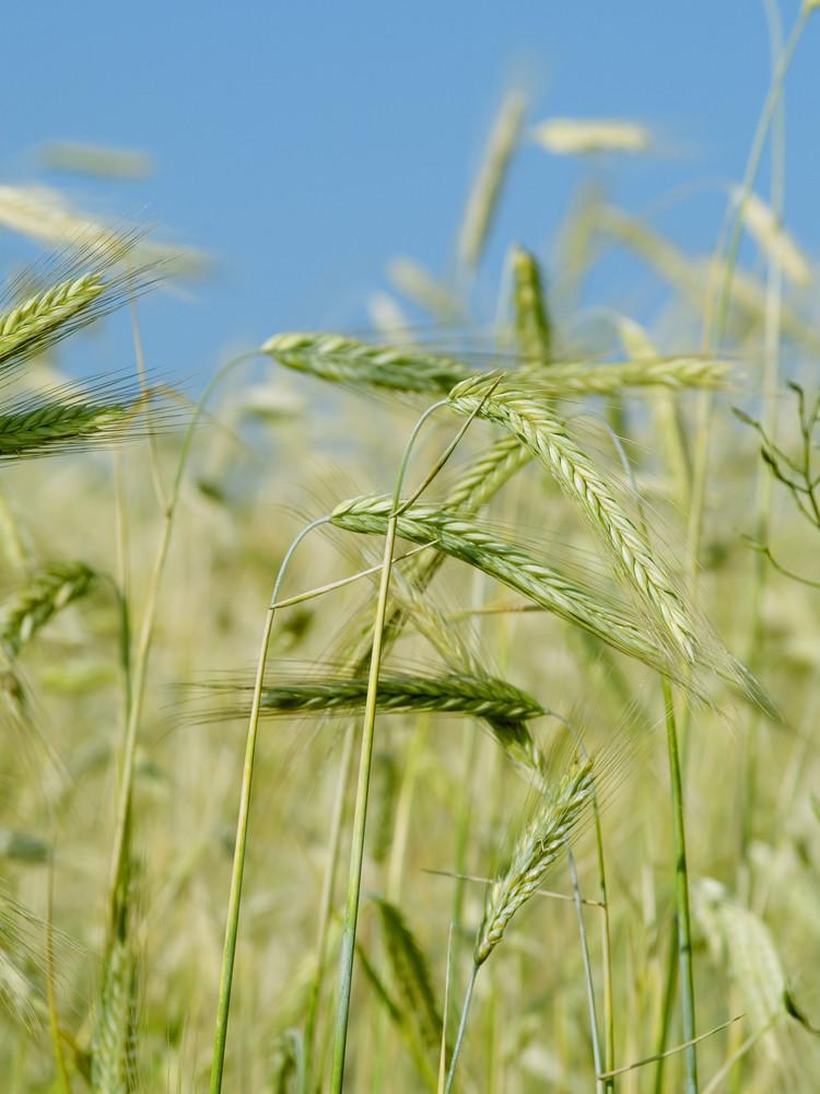 Wheat Ears In The Field