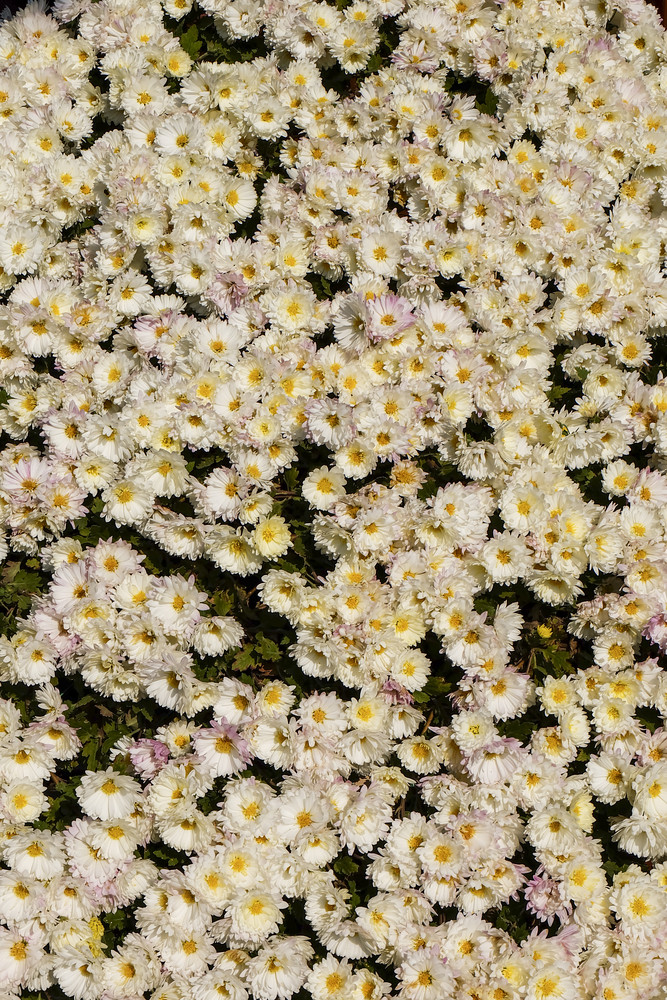 White flower field nature background.