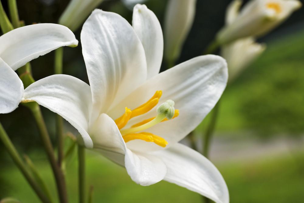 White Lily Closeup