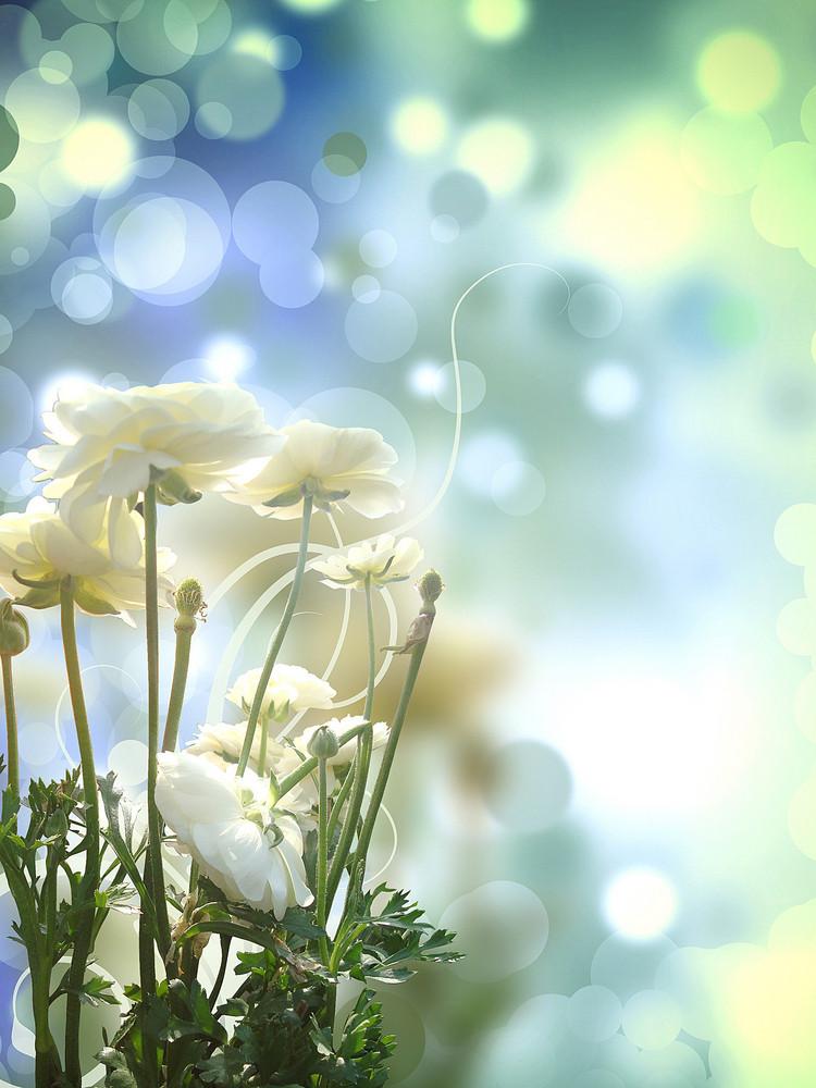White Rose On Shiny Bright Background