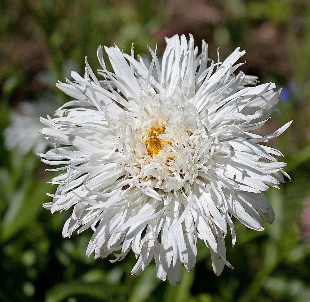 White Shaggy Shasta Daisy Flower Royalty Free Stock Image