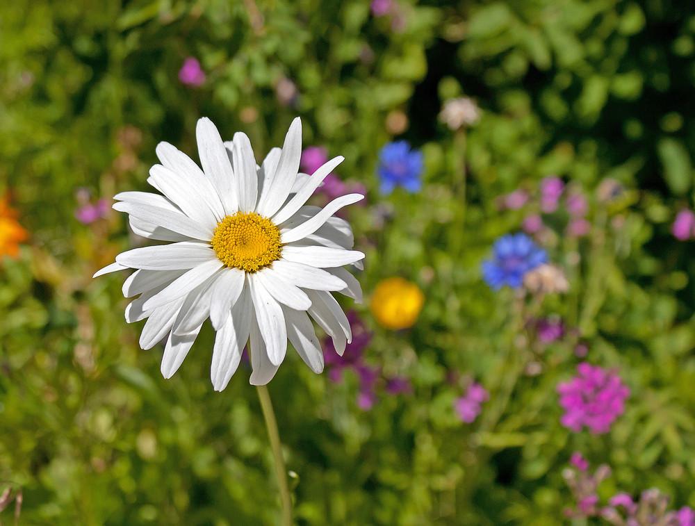 White Shasta Daisy Flower