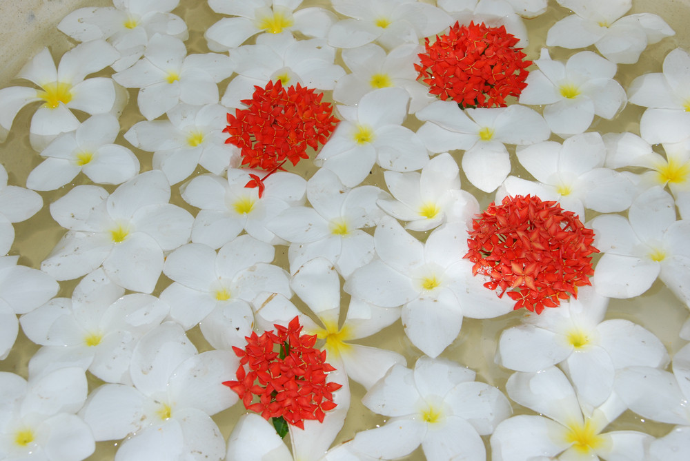 White Tropical Frangipanis Flowers Background