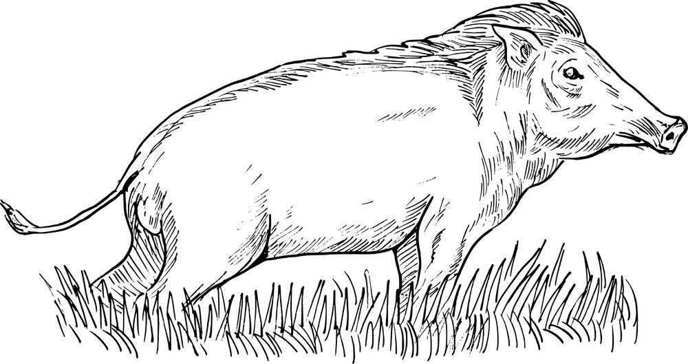 Wild Boar Or Pig