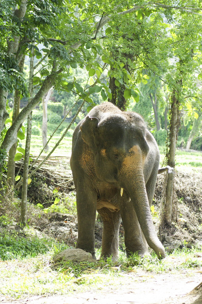 Wild elephant in green forest