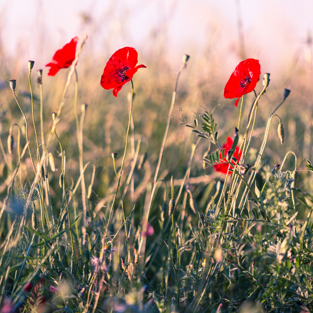 Wild Poppy Flower With Color Filter Royalty Free Stock Image