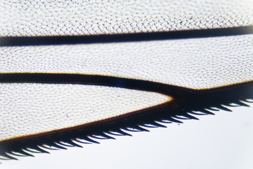 Wing Of A Fly