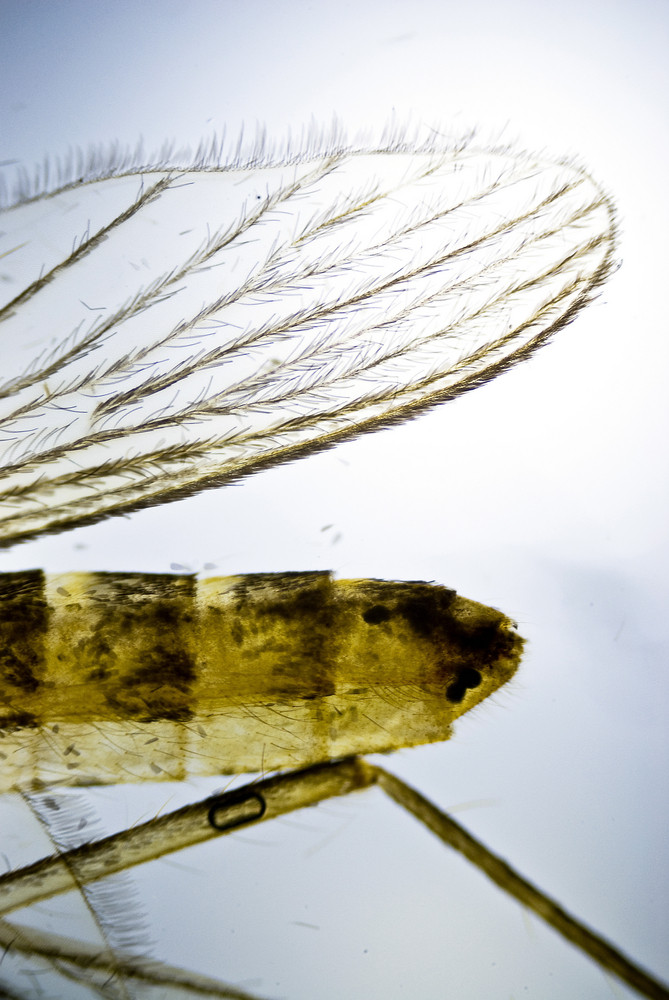 Wing Of A Mosquito