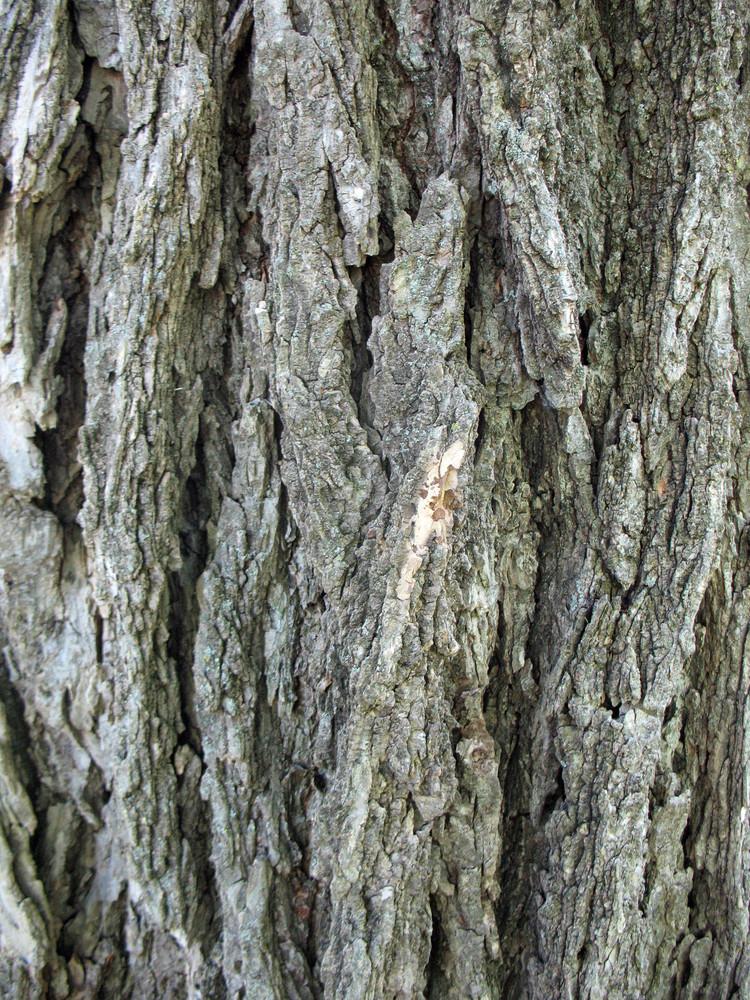 Wood Bark 16 Texture