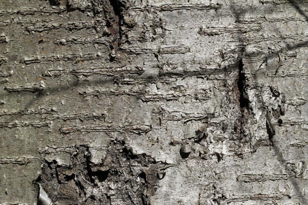 Wood Bark 21 Texture