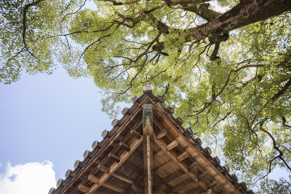 Wood roof with tree at Dazaifu