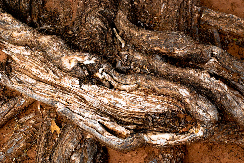 Wood Roots 2 Texture
