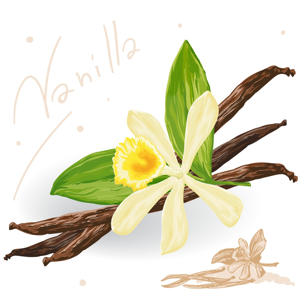 World Spices. Vanilla Pods And Flower. Vector.