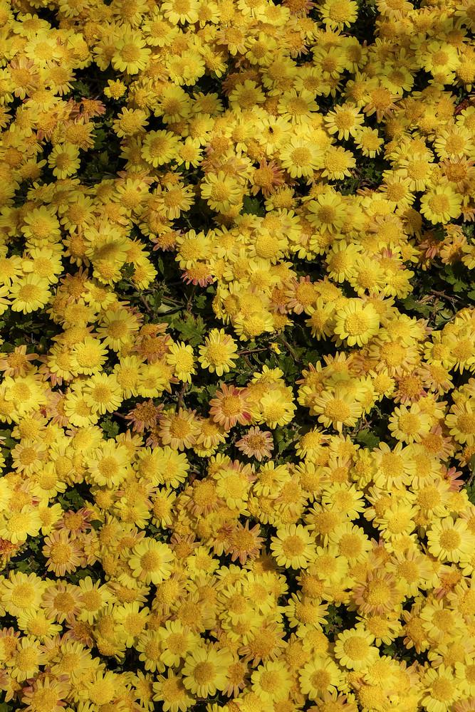 Yellow flower field nature background.