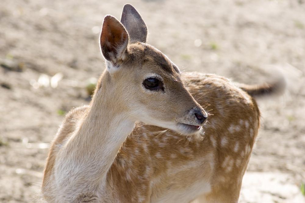 Young Deer Close Up