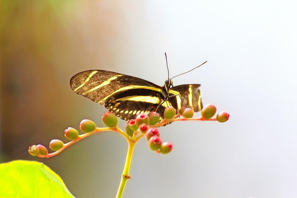 Zebra Longwing  Butterfly On Daisy