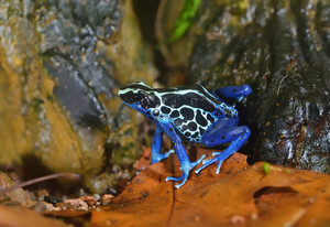 Blue dart frog Dendrobates tinctorius in terrarium. Colourful bright tropical frog.