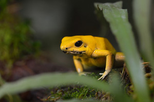 Golden Poison Arrow Frog (Phyllobates terribilis) in natural rainforest environment. Colourful bright yellow tropical frog.