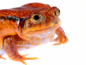 The false tomato frog Dyscophus guineti isolated on white