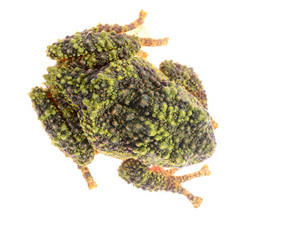 The Mossy Frog Theloderma corticale isolated on white