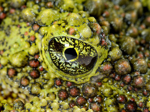 The Mossy Frog Theloderma corticale eye close-up