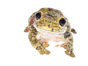 Black-spotted casque-headed tree frog Trachycephalus nigromaculatus isolated