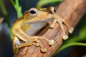 Borneo eared frog Polypedates otilophus