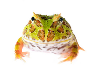 Ornate Horned Frog Ceratophrys ornata isolated on white