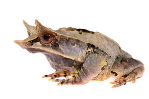 The long-nosed horned frog Megophrys nasuta isolated on white