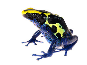 Blue dyeing dart frog Dendrobates tinctorius isolated on white