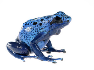 Blue dyeing dart frog Dendrobates tinctorius azureus isolated on white