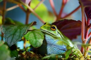 Green Dotted Treefrog Dendropsophus labialis in terrarium