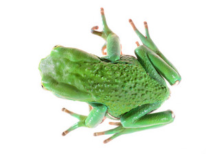 Green waxy monkey leaf frog Phyllomedusa sauvagii isolated on white