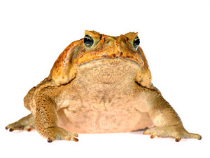 The cane toad (giant marine toad) Bufo marinus isolated on white