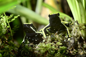 Two green frogs in terrarium
