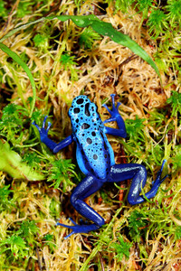 Colorful blue frog Dendrobates tinctorius