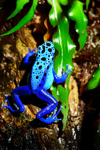 Colorful blue frog sitting in terrarium