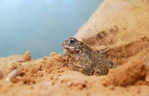 Sand toad in terrarium