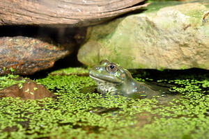 European common green frog in terrarium