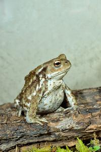European common toad