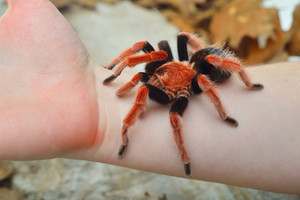 Birdeater tarantula spider Brachypelma boehmei held in hand in natural forest environment. Bright red colourful giant arachnid.